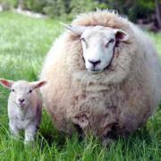 Disputa sugli agnelli nel tempo pasquale